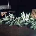 Sorpresi a rubare ortaggi: ladri messi in fuga dalle Guardie Campestri