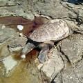 Ritrovate due tartarughe spiaggiate a Levante e a Ponente