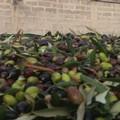 Crollo dei prezzi olive, la Regione Puglia approva all'unanimità la mozione Damascelli
