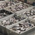 Arriva il fermo pesca: esteri 8 pesci su 10 nel piatto dei pugliesi
