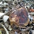 Trovate senza vita altre due tartarughe marine spiaggiate