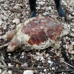 Due carcasse di tartarughe ritrovate a Giovinazzo