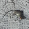 Un ratto morto in via Bari. Il PD ironizza