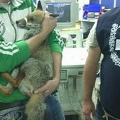 Le guardie Anpana salvano una volpe ferita