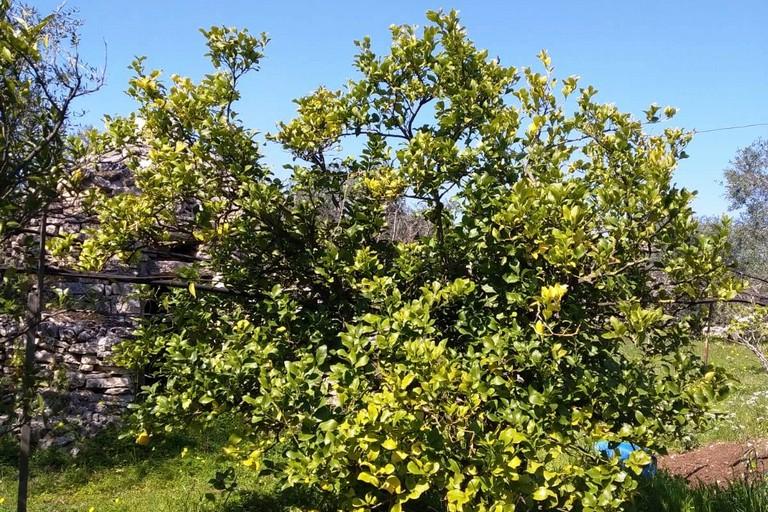 Un limone depredato. <span>Foto L.C. </span>