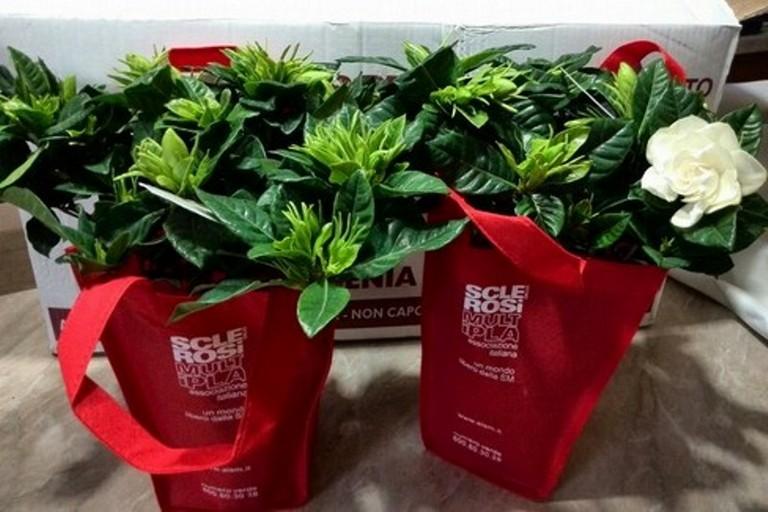 Le gardenie AISM nelle piazze giovinazzesi il 9 e 10 marzo