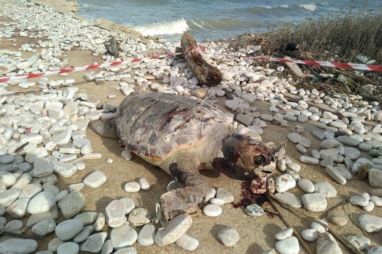 Una delle tartarughe rinvenute a Giovinazzo