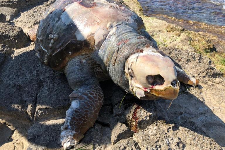 La tartaruga rinvenuta in località camping Campofreddo