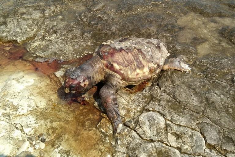La tartaruga rinvenuta in località Piramidi
