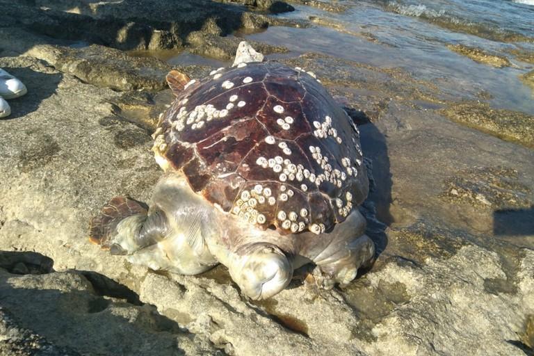 La tartaruga rinvenuta in località Trincea