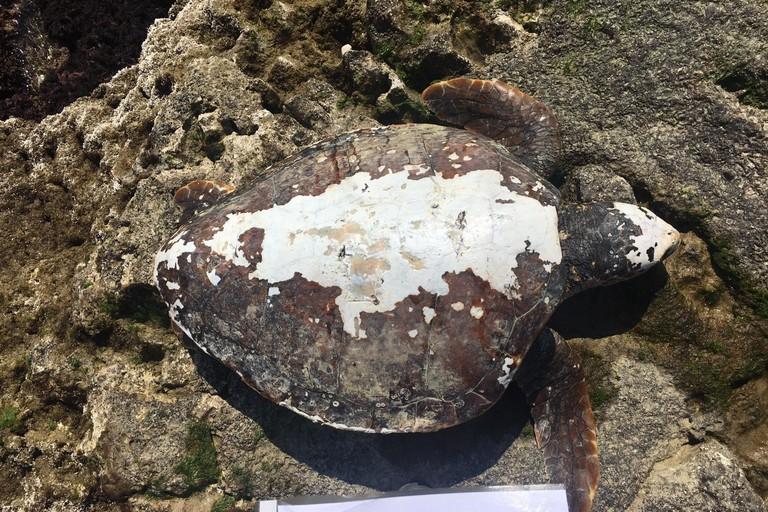 La tartaruga rinvenuta nei pressi del residence Arco Marino