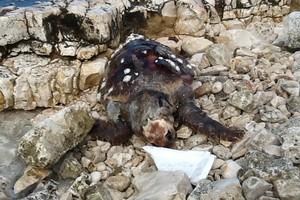 Una tartaruga spiaggiata
