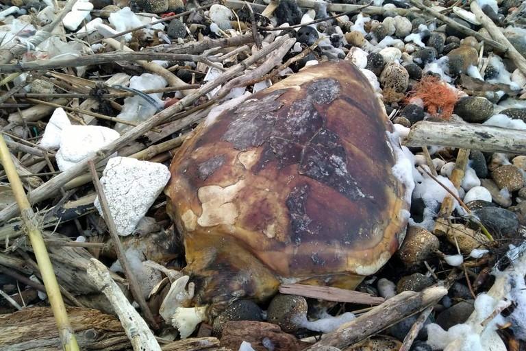 Una delle due tartarughe marine ritrovate a Giovinazzo