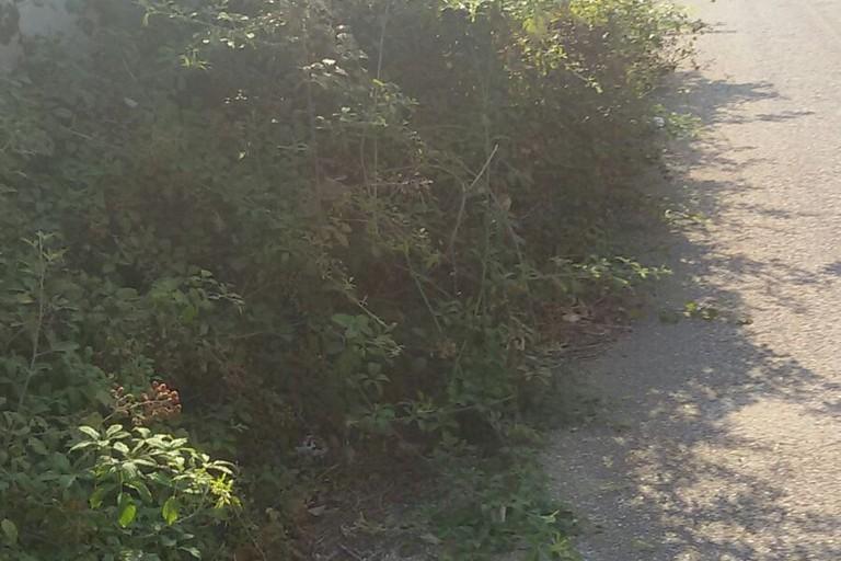 Rovi invadono la piccola carreggiata (Foto P.S. )