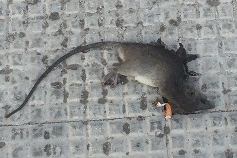 Il ratto morto in via Bari